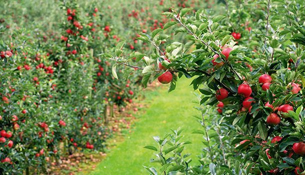 granngarden_tradgard_apple5
