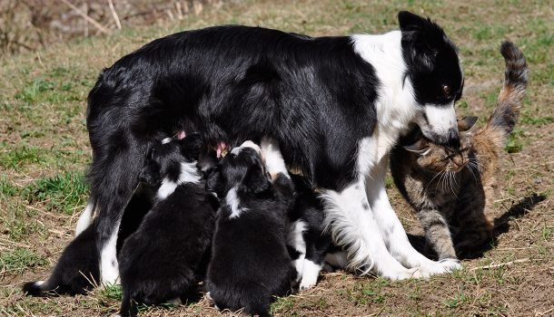 Valpar Border collie.